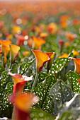 Orangefarbene Kalla-Blüten