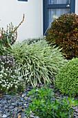 Weißbunte Schmucklilie im Beet