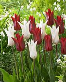 Tulipa 'Peter de Vries', 'Tres Chic'