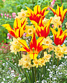 Tulipa 'Fire Wings', Narcissus 'Blushing Lady'