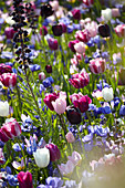 Frühlingsblumen Wiese mit Tulpen