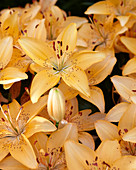 Lilium 'Apricot Joy'