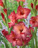 Gladiolus 'Don Pipi'