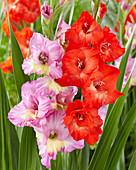 Rote und violette Gladiolen