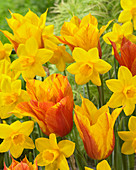 Narcissus 'Sweetness', Tulipa 'Vendeeglobe'