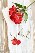 Alstroemeria 'Red Delight'
