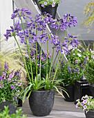Blau-violette Schmucklilie im Topf