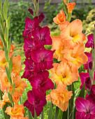 Mix aus orangefarbenen und purpurnen Gladiolen