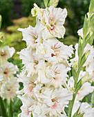 Creme-weiße Gladiole