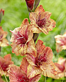 Gladiolus 'Brunette'