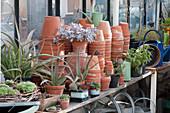 Überwinterung von Aloe, Mondstein und anderen Sukkulenten im Gewächshaus