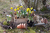 Schneeglöckchen, Krokus, Winterling und Strahlenanemone zum Einpflanzen in den Garten