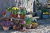 Topf - Arrangement mit Tulpen, Schneeheide, Narzissen, Primel und Hyazinthe
