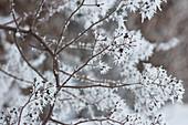 Rosenzweige mit Rauhreif im Winter