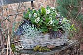 Blühende Skimmie mit Purpurglöckchen, Greiskraut und Efeu im Korb