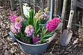 Schale mit Hyazinthen zum Einpflanzen am Gartenzaun