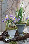 Krokus 'Tricolor' und Schneeglöckchen in Kranz aus Birkenzweigen