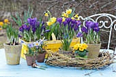 Frühlings-Arrangement mit Krokus 'Flower Record', Elfenkrokus, Narzisse 'Tete a Tete', Primel und Traubenhyazinthen