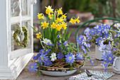 Frühlingsschale mit Narzissen 'Tete a Tete' und Strahlenanemone