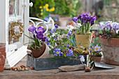 Frühling in lila: Krokusse und Strahlenanemonen