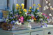 Bunt bepflanzter Frühlingskasten mit Narzissen, Primeln, Milchstern, Traubenhyazinthen und Strahlenanemone, kleiner Weidenkranz