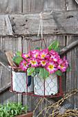 Primel 'Rose Pink Bicolor' in Korb aufgehängt