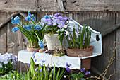 Töpfe mit Hornveilchen Rocky 'Lavender Blush', Traubenhyazinthe und Schneestolz in Wandhänger