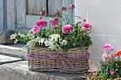 Frühlingskorb mit Ranunkeln, Milchstern, Schachbrettblume und Hornveilchen