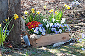 Frühling in Holzkiste im Garten:Hornveilchen, Primeln, Krokusse, Narzissen