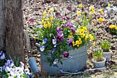 Zink-Jardiniere mit Hornveilchen, Stiefmütterchen und Narzissen im  Garten