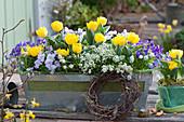 Balkonkasten mit Tulpen, Blaukissen, Hornveilchen, Traubenhyazinthen und Gämskresse 'Ice Cube', Kranz aus Birkenzweigen