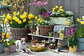 Osterterrasse mit Narzissen, Tulpen, Goldlack und Traubenhyazinthen, Hund Zula neben Korb mit Ostereiern