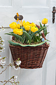 Gelbe Darwin-Tulpen 'Garant' im Korb an Türe gehängt