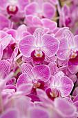 Pinke Blüten von Phalaenopsis