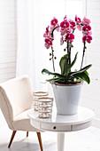 Phalaenopsis im Topf