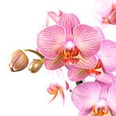 Phalaenopsis 'Salmion'