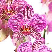 Phalaenopsis 'Nemo'