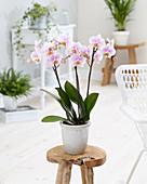 Pastellfarbene Phalaenopsis im Topf