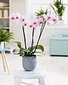 Phalaenopsis 'Moscow'