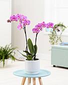 Phalaenopsis 'Luxor'