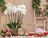 Phalaenopsis 'White World'