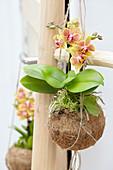 Gelbe Phalaenopsis in Kokosschale als Ampel