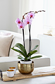 Phalaenopsis 'Washington'