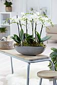 Phalaenopsis 'Multiflora White'
