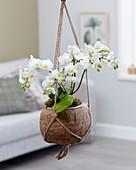 Kokodama: Phalaenopsis 'White Willd Orchid'