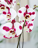 Phalaenopsis 'Polka Dots'