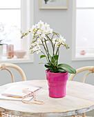 Phalaenopsis 'White Wild'