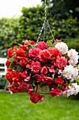 Begonia 'Odorata Mix'