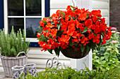 Begonia 'Florencio Orange' ®