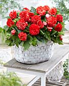 Begonia 'Marmorata'